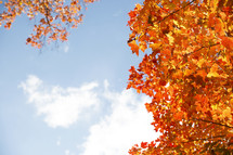 orange fall leaves and blue sky