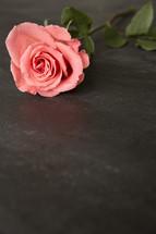 pink long stem rose