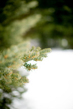 evergreen tree branches and snow