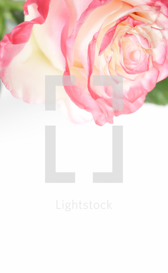 pink rose and white background