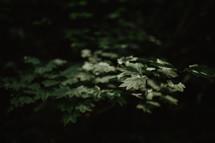 sunlit leaves in dark forest