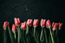 red tulips against a black background