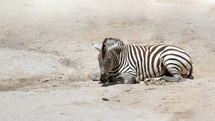 Zebra resting in a dirt field.