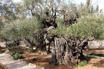 Ancient Olive Tress in the Garden of Gethsemane