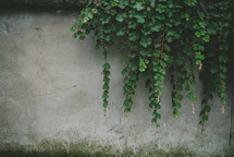 ivy growing over a concrete wall