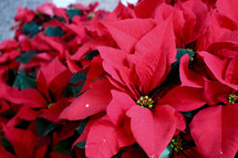 red poinsettias