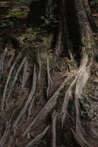 twisted roots on tree in forest