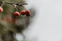 close up of berries on tree