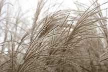 tuffs on tall brown grasses