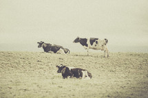 Black and white cows on green grass.