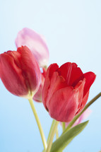 Fresh, blossoming tulips.