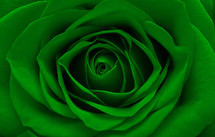 a green rose closeup