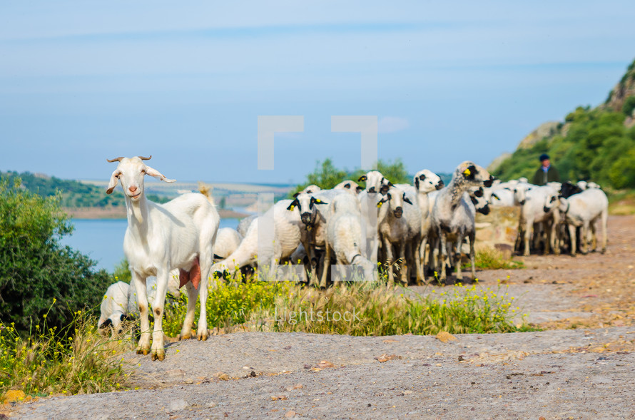 goats on the side of a road