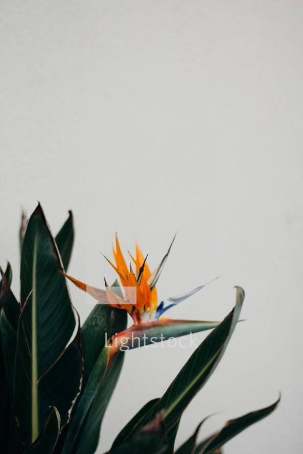 Bird of Paradise flower