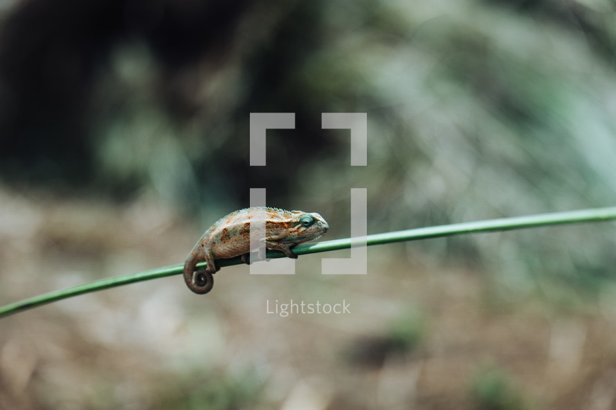 chameleon on a stick