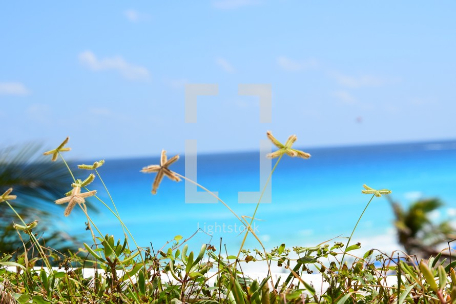 grasses shaped like starfish in front of a view of the ocean