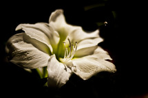water drop falling on an Easter Lily