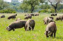 pigs in a pasture