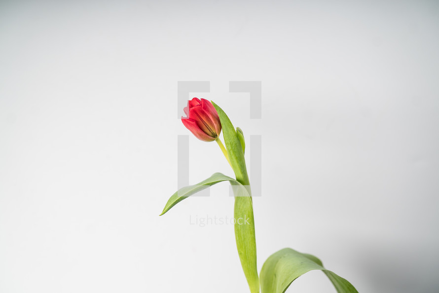 single red tulip on white