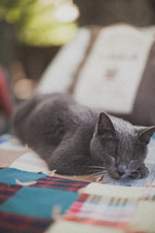 sleepy grey cat