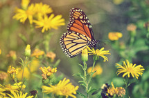 monarch butterfly on a yellow wildflower