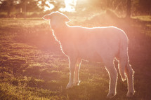 sunlight shining on a lamb