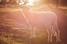 sunlight shining on a lamb