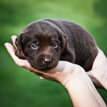 hands holding a lab puppy