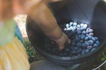 blueberries in a bucket