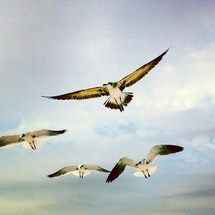 Seagulls flying in sky