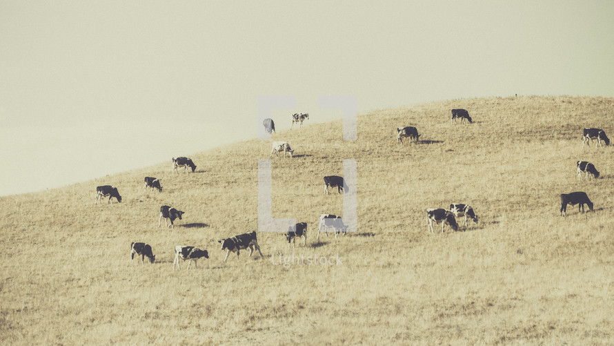 cows grazing on a hill