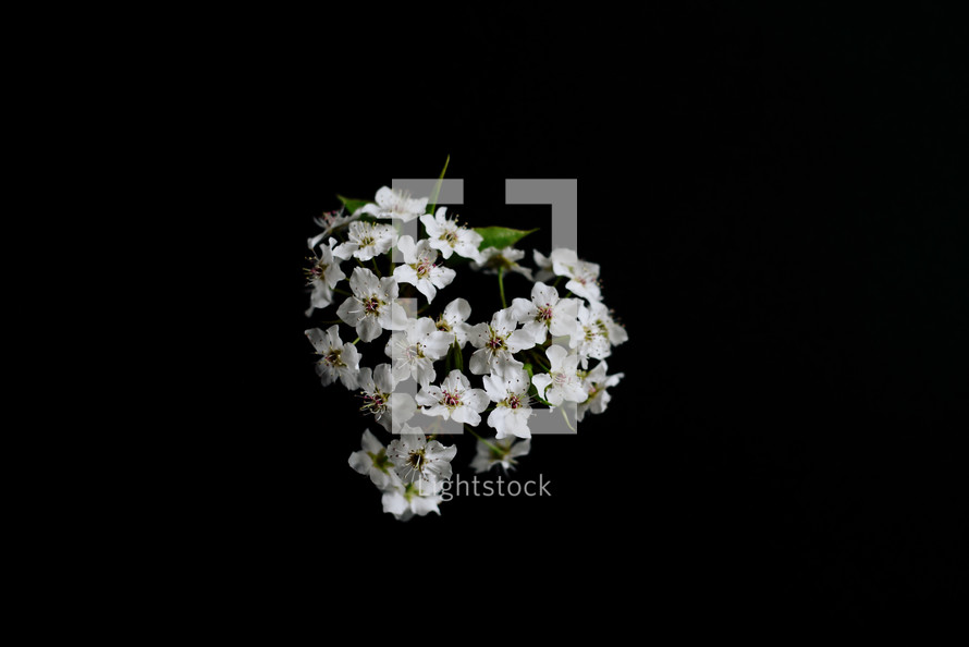 white blossoms on a black background