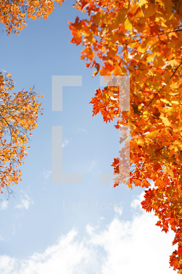 orange fall leaves and blue sky