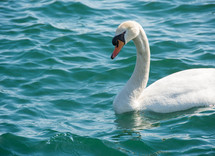 A swan on the water.