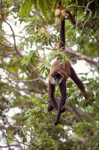 monkey hanging by its tail in a tree