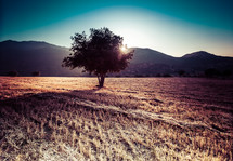 isolated tree in an open field