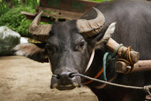 Hard working Philippine Carabao (a.k.a. Philippine Water Buffalo) at a farm with a heavy, wooden yoke placed on it.