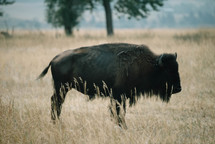 buffalo in a field