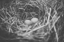 bird eggs in a bird nest