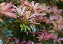 pink, green, and red leaves on a bush