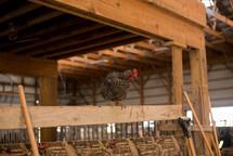 chicken in a barn