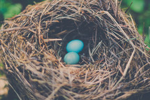 blue robin's eggs in a bird nest