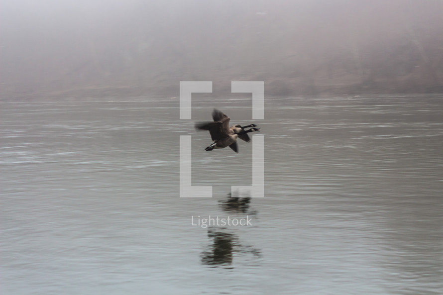 Canada geese flying over a lake