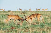 fighting antelope