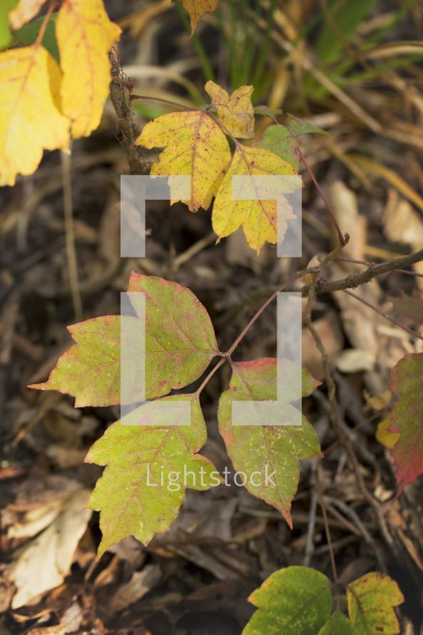 three leaves in sunlight
