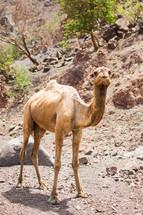 a camel in a desert