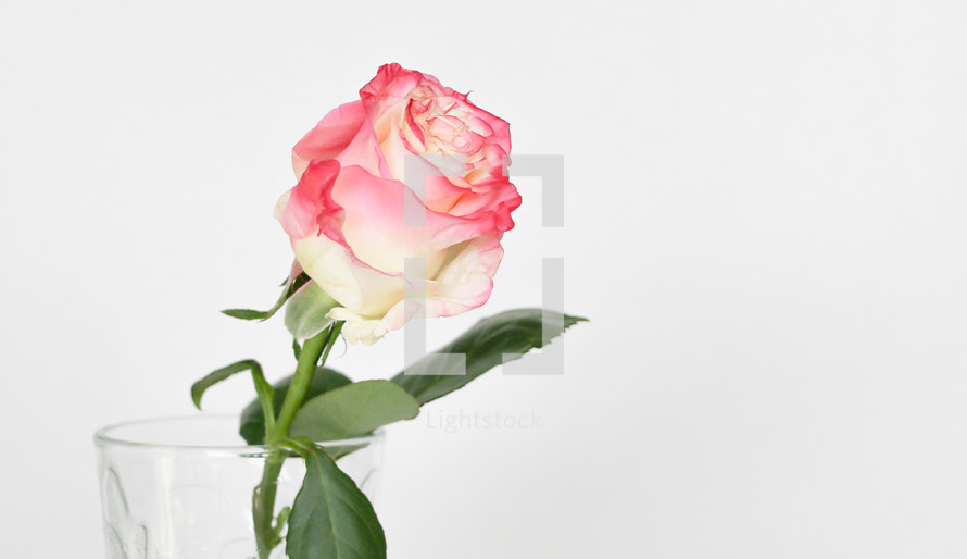 pink rose in a vase on white