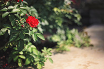 red rose on a bush outdoors
