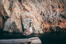 Canada goose on a log