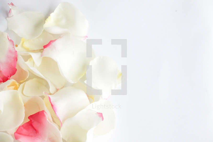 rose petals on white